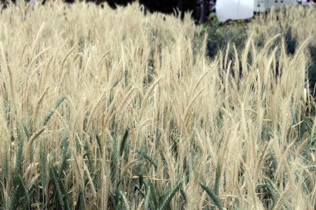 Wheat sepia Banco de Imagens