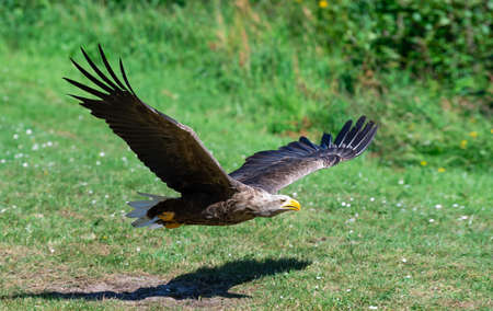 American bald eagle in flight, eagle hunting fish, eagle flying over the grass Imagens