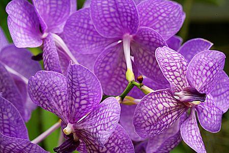 Vanda Miss Joaquim orchids close up