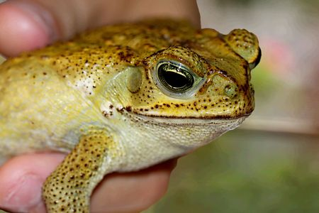 Handsome toad sits in my sons hand Stock Photo