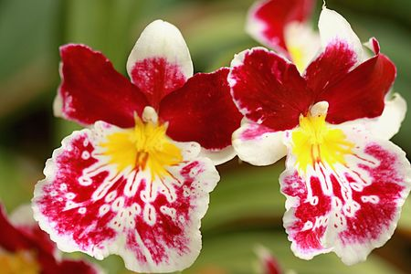 orchideae: Two bright orchids