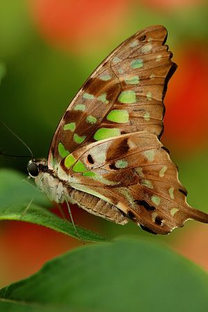 Butterfly (Papilionidae) on a green leaf close up Stok Fotoğraf