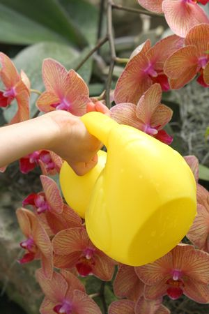 Little hand watering orchids photo