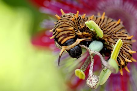 Butterfly's catepillar on the passion flower
