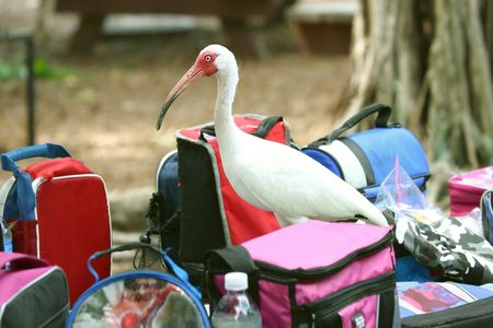 plummage: White ibis looking for food among  a picnic bags Stock Photo
