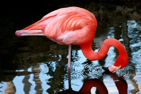 Vibrant pink flamingo drinking Stock Photo - 4270787