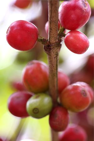 arbol de cafe: Los granos de caf� maduro en la sucursal (Costa Rica) Foto de archivo