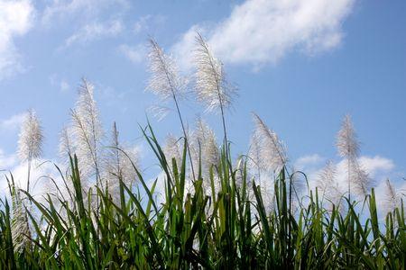 Sugar cane field, Costa Rica