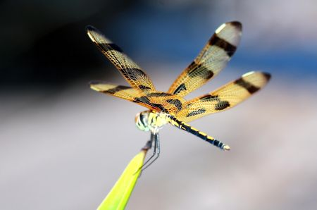 Brown dragonfly close up Stock Photo