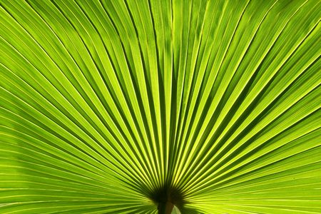 Perfect green palm leaf, close up
