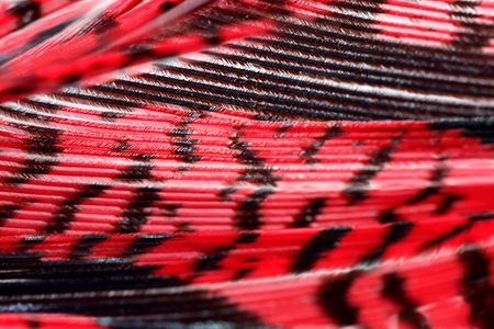 Red pheasant feather, macro Stock Photo