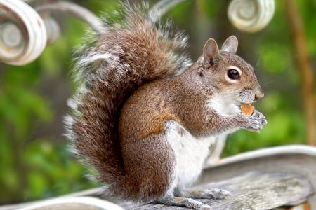 Red squirel  eating cookies on the garden bench Stock Photo