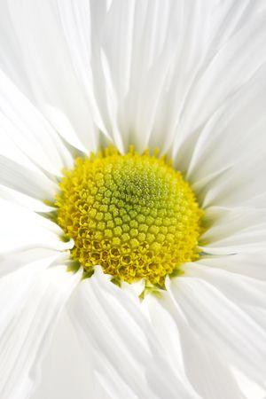 White daisy  , macro Stock Photo