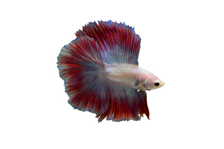 aquarium hobby: Betta fish isolated in a white background