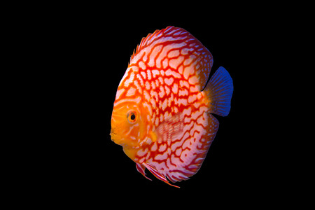 discus: Discus fish isolated in a black background