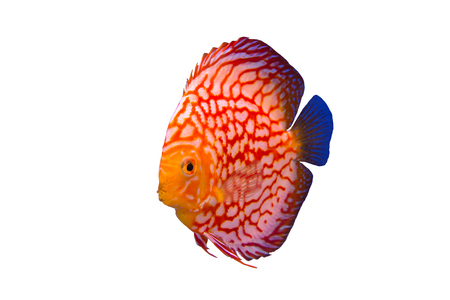 Discus fish isolated in a white background Stock Photo
