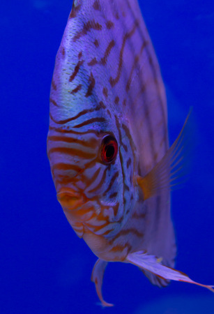 discus: Tiger turquoise discus in a blue background Stock Photo