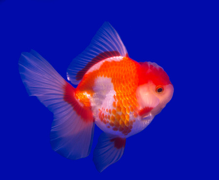 Oranda goldfish isolated in a blue background Stock Photo