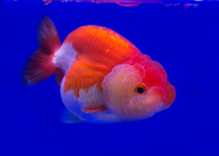 lionhead: Lionhead fish in a blue background Stock Photo