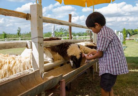 Asian boy feeding food to sheep
