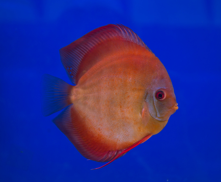 San Merah discus fish in a blue background Stock Photo