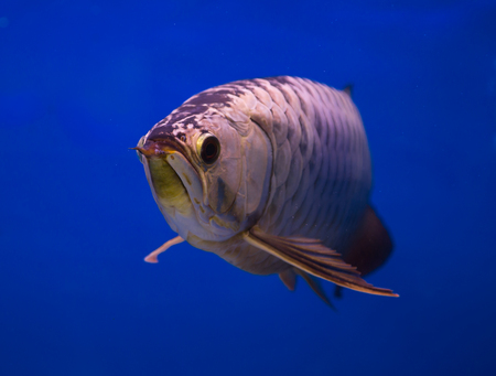 Asian gold arowana fish in a blue background Stock Photo