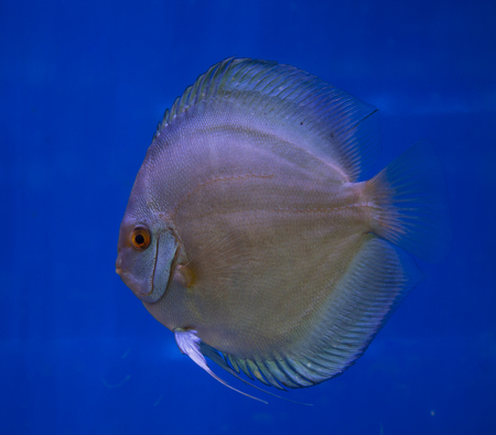 Blue diamond discus fish in a blue background
