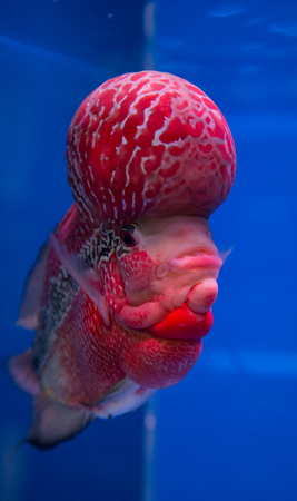 Flowerhorn cichlid fish in a blue aquarium Stock Photo