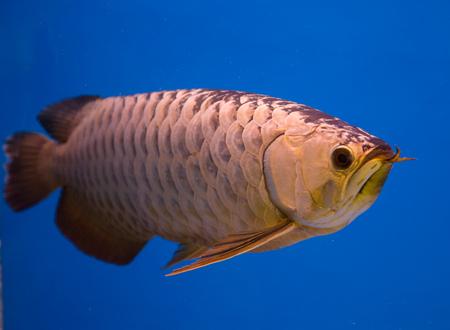 Asian gold arowana fish in a blue aquarium Stock Photo