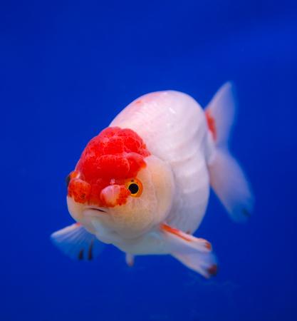 lionhead: Lionhead goldfish in a blue background Stock Photo