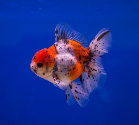 Calico oranda goldfish in a blue background