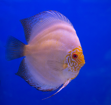 White butterfly discus fish in a blue background