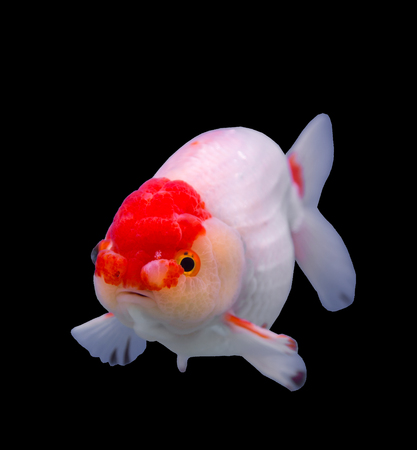 lionhead: Lionhead goldfish isolated in a black background