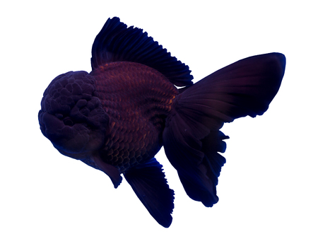 Black oranda goldfish isolated in a white background