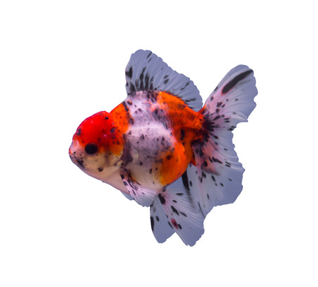 Calico oranda goldfish isolated in a white background Stock Photo