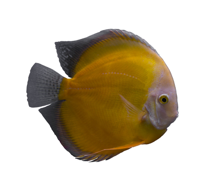 Yellow discus fish isolated in a white background Stock Photo