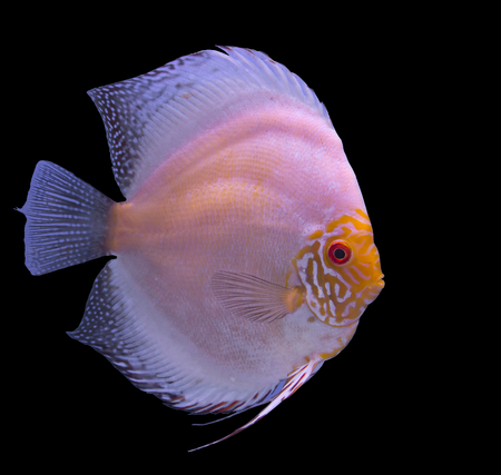 White butterfly discus fish isolated in a black background Stock Photo