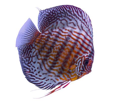 Red Türkis Diskusfische in einem weißen Hintergrund