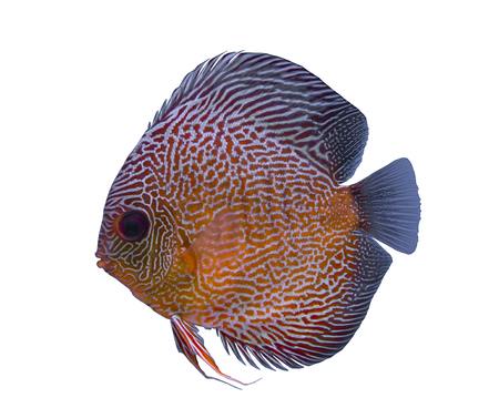 Snake skin discus fish isolated in a white background