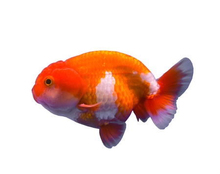 lionhead: Lionhead goldfish isolated in a white background