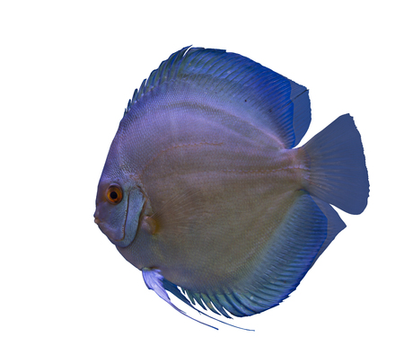 Blue diamond discus fish isolated in a white background