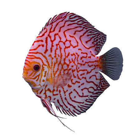 Checker board discus fish isolated in a white background