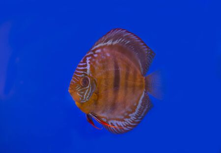 Wild brown discus fish on blue background