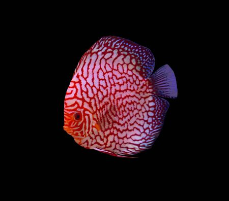 Checkerboard discus fish on black background