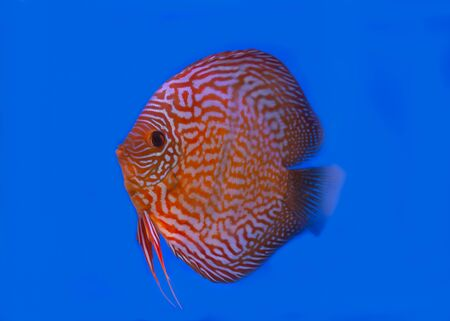 Red Turquoise discus fish on blue background