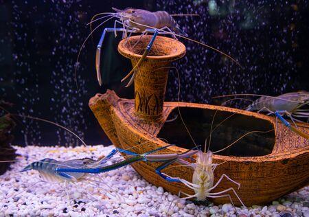Tiger prawns in decorated freshwater aquarium tank Stok Fotoğraf