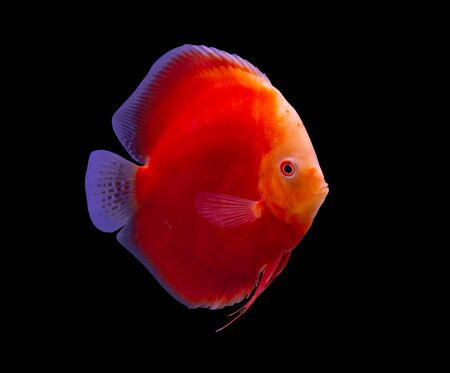Red Melon discus fish on black background aquarium