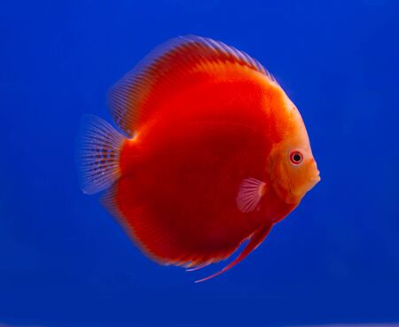 Red Melon discus fish on blue background aquarium Stok Fotoğraf