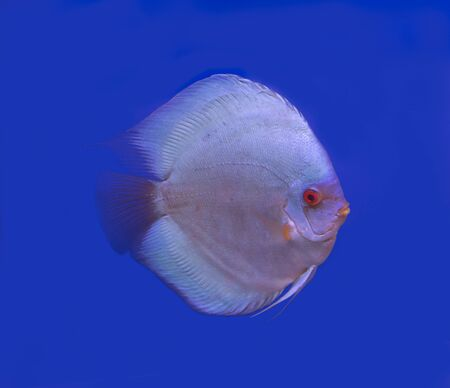 Blue diamond discus fish on blue background