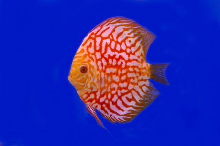Checkerboard discus fish on blue background